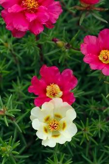 Portulaca oleracea blumen fotografierten nahaufnahme. ziervegetation im garten.