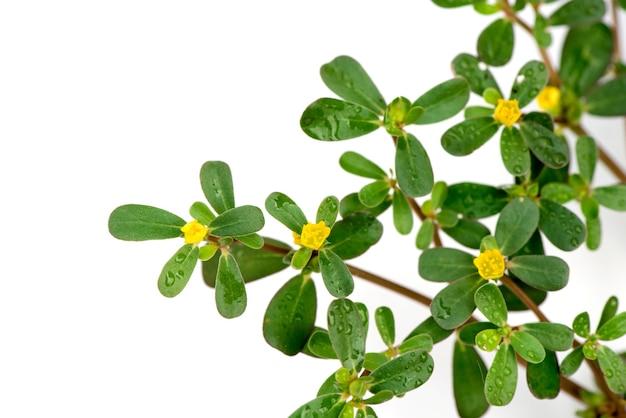 Portulakblüten und grüne blätter isoliert auf weißer oberfläche. ansicht von oben, flach.