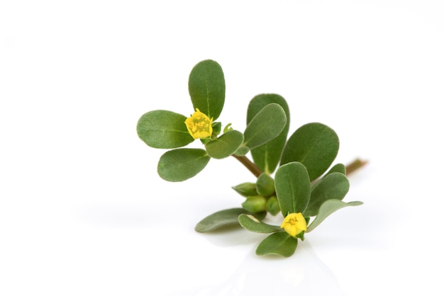Portulakblumen und grüne blätter lokalisiert auf weißem hintergrund.
