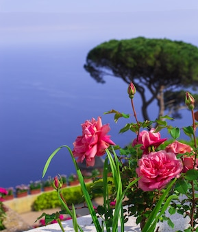 Postkarte mit blick auf den golf von salerno im tyrrhenischen meer von villa rufolo in ravello. rose im vordergrund. kampagne, italien