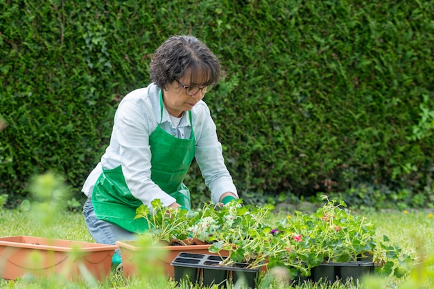 Potting-pelargonienblumen der reifen frau