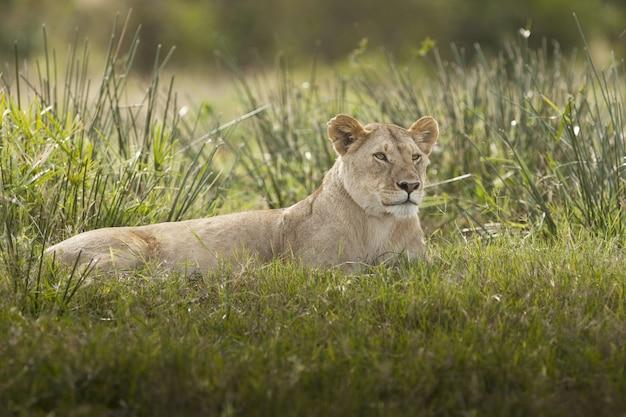 Prächtige löwin, die auf einem feld liegt, das mit grünem gras bedeckt wird