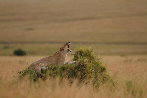 Prächtige löwin, die auf einem grasbedeckten hügel brüllt