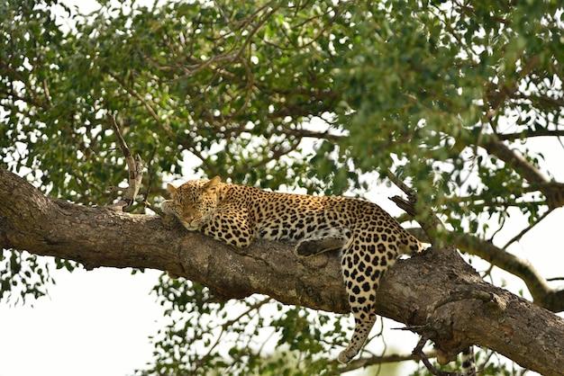 Prächtiger afrikanischer leopard auf einem ast eines baumes, der im afrikanischen dschungel gefangen genommen wird