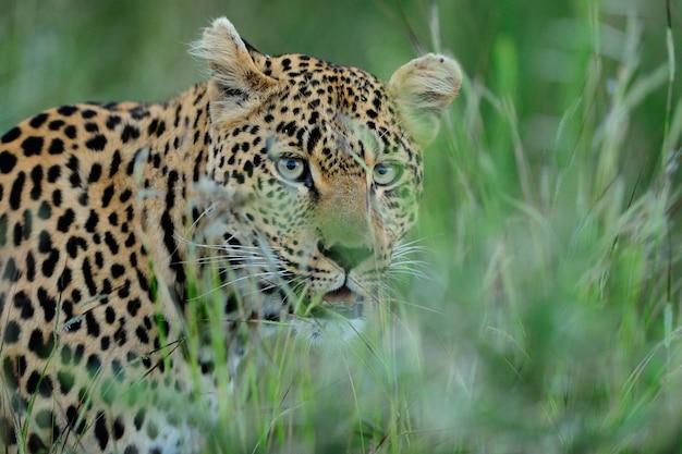 Prächtiger afrikanischer leopard, der sich hinter hohem grünem gras versteckt