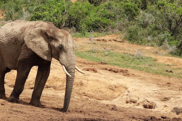 Prächtiger schlammiger elefant, der in der nähe der büsche und pflanzen im dschungel herumläuft