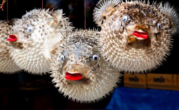 Präparierte ballonfische zu verkaufen.