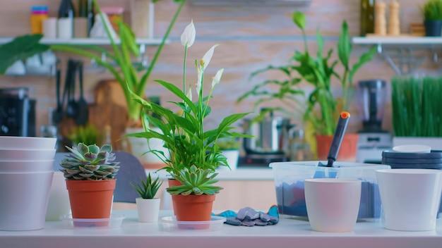 Präsentieren von pflanzen für den hausgartenbau auf dem küchentisch zu hause. düngererde mit einer schaufel in topf, weißer keramiktopf und blumenhaus, pflanzen, vorbereitet zum umpflanzen zu hause für die hausdekoration.