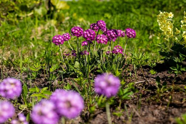 Primel primel mit violetten blüten. inspirierend natürlicher blumenfrühling oder blühender garten oder park des sommers unter weichem sonnenlicht und unscharfem bokeh hintergrund. bunte blühende ökologienaturlandschaft