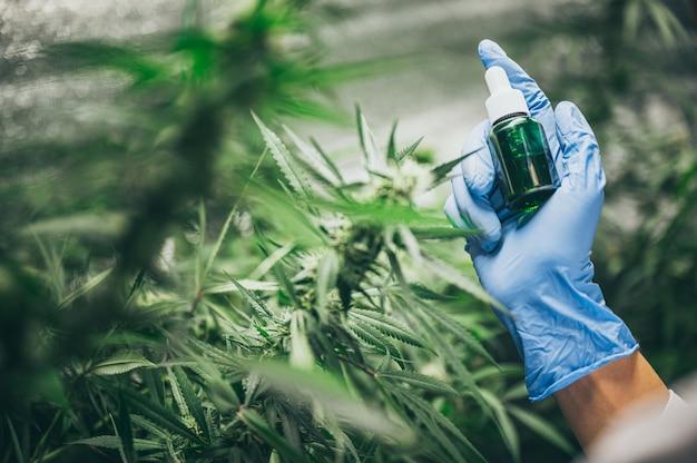 Professionelle forscher, die auf einem hanffeld arbeiten, überprüfen pflanzen, alternative medizin und das cannabiskonzept