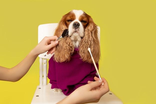 Professionelle hundepflege im pflegesalon. groomer hält schönheitswerkzeuge und make-up-pinsel in der hand. gelbe wand im studio, foto. groomer und humor konzept