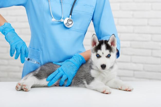 Professioneller tierarzt, der sich um kleinen hund kümmert