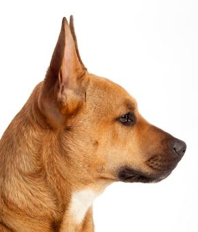 Profil des kopfes eines braunen hundes