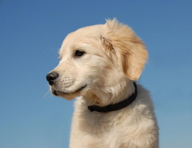 Profil des welpen golden retriever