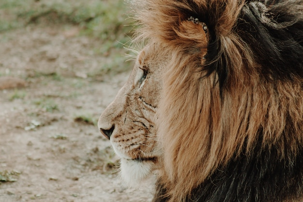Profil nahaufnahme schuss des männlichen löwen
