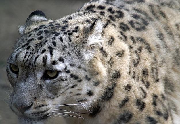 Profil schnee bedroht haustiere nähe cat leopard