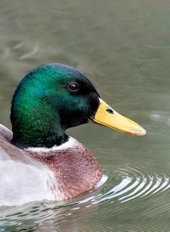 Profilansicht einer ente mit grünem kopf, die im see schwimmt