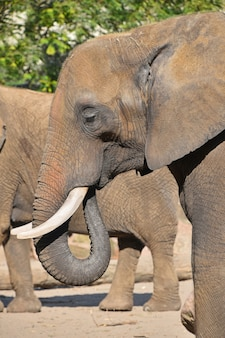 Profilporträt des afrikanischen elefanten