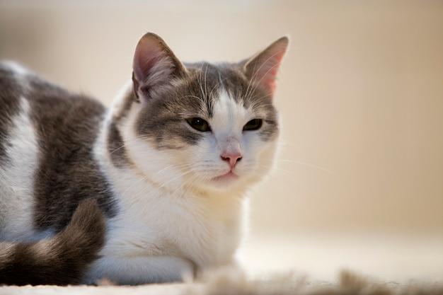 Profilporträt des jungen netten kleinen niedlichen intelligenten weißen und grauen hauskatzenkätzchens mit lächelndem ausdruck auf weißem kopienraum. tierhaustier zu hause halten, wildtierkonzept.