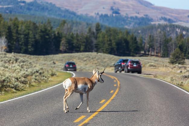 Pronghorn antilope auf der straße, yellowstone, wyoming, usa