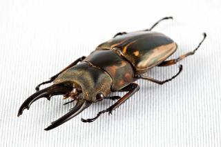 Prosopocoilus zebras käfer isoliert