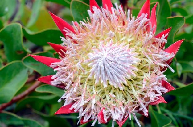 Protea cynaroides, eine wunderschöne kulturpflanze aus südafrika