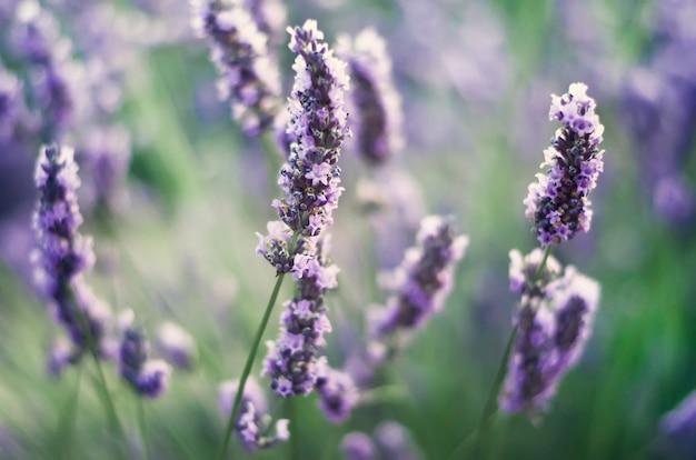Provence natur. lavendelfeld im sonnenlicht mit kopienraum. makro von blühenden violetten lavendelblumen. sommerkonzept, selektiver fokus