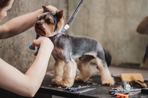 Prozess des abschließenden scherens eines hundehaares mit einer schere eines hundes sehen hochwertiges foto an
