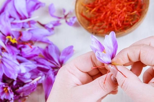 Prozess des trennens der safranfäden vom rest der blüte. vorbereitung von safranfäden zum trocknen vor der verwendung in der küche, kosmetik oder medizin.