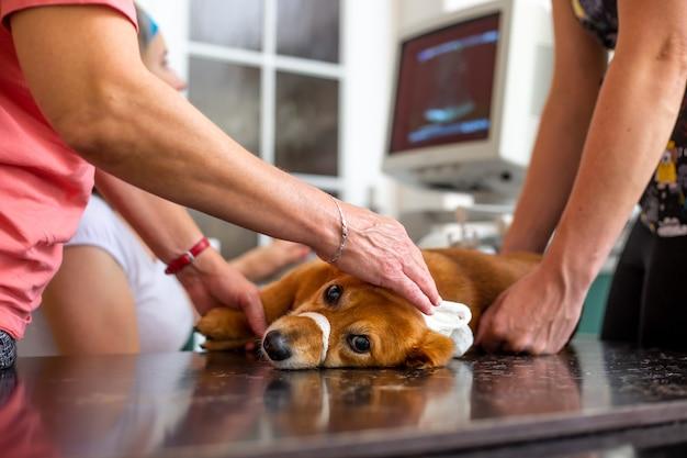 Prozess eines hund ultraschallherzens in der tierklinik, tierarztkonzept