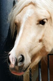 Prozhivalsky pferd gleitet seinen kopf durch den zaun
