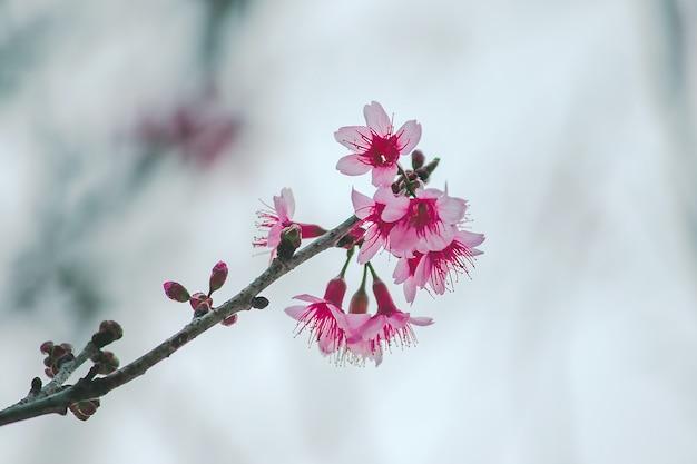 Prunus cerasoides sind in der natur wunderschön rosa. im norden von thailand blüte im januar