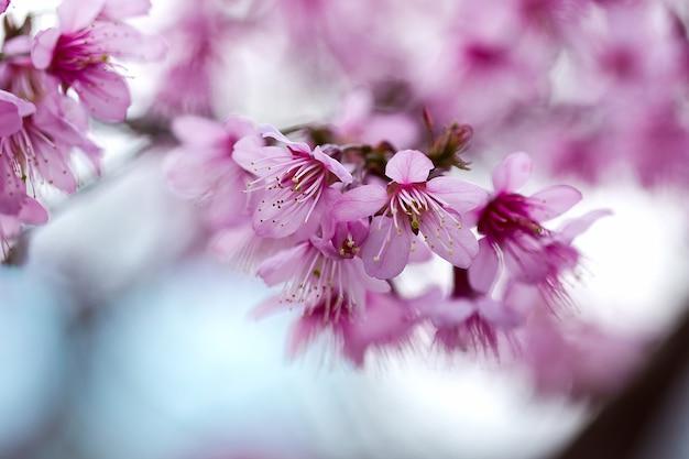 Prunus cerasoides sind in der natur wunderschön rosa. im norden von thailand blütezeit im januar - februar