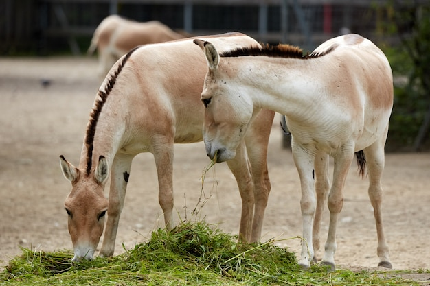 Przewalskis pferd im zoo