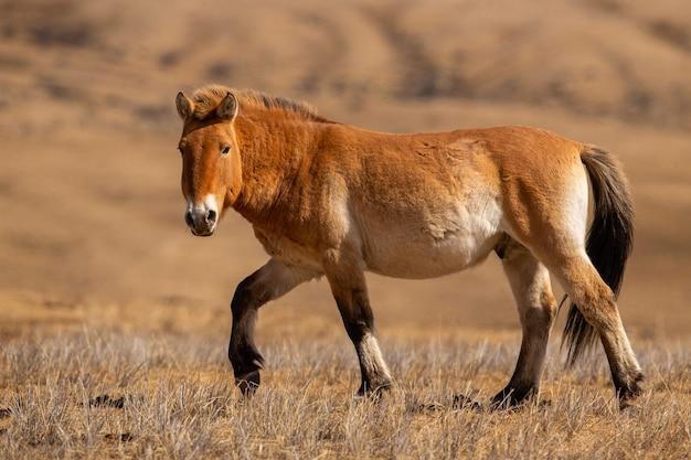 Przewalskis pferdeporträt im magischen weichen licht während der winterzeit in der mongolei