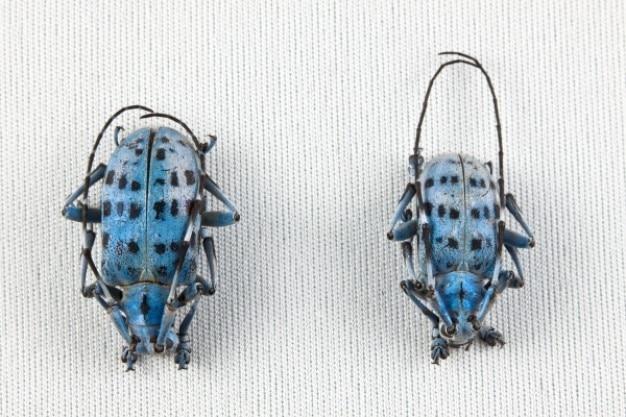 Pseudomyagrus waterhousei käfer paar