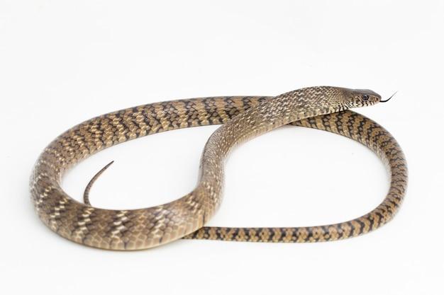 Ptyas mucosa orientalische ratsnake indische rattenschlange isoliert auf weißem hintergrund