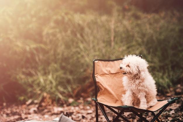 Pudel-spielzeug-niedlicher hund auf einem stuhl im freien nachmittag