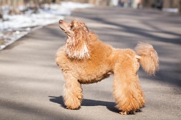 Pudelhund im park