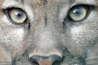 Puma augen