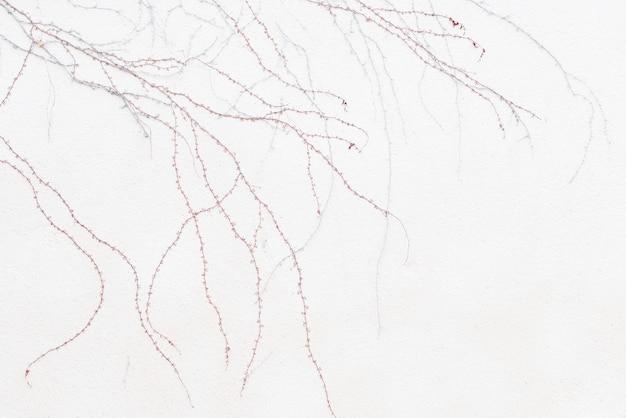 Puntas de enredadera roja en pared blanca