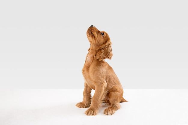 Purer jugendverrückt. junger hund des englischen cockerspaniels posiert. nettes verspieltes weiß-braunes hündchen oder haustier spielt und sieht glücklich aus, isoliert auf weißem hintergrund. konzept der bewegung, aktion, bewegung.