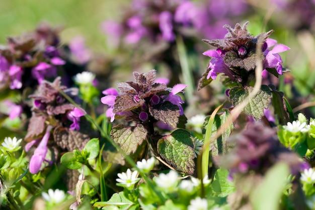 Purpleflowered brennnessel details von pflanzen in der natur