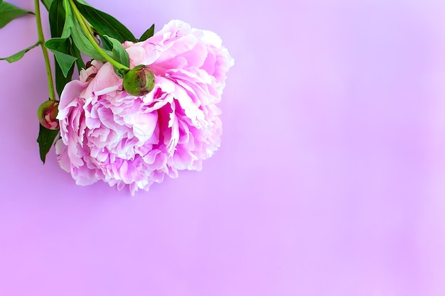 Purpure pfingstrosenblüten auf rosa. flach liegen