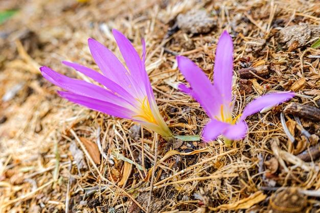 Purpurrote blume, die am ende des sommers einer birne im hochgebirge von spanien geboren ist