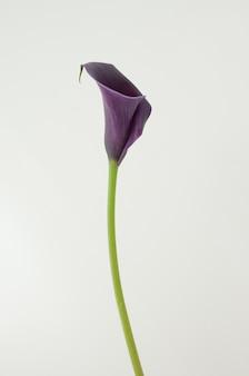Purpurrote callalilienblume auf einem weißen getrennten hintergrund