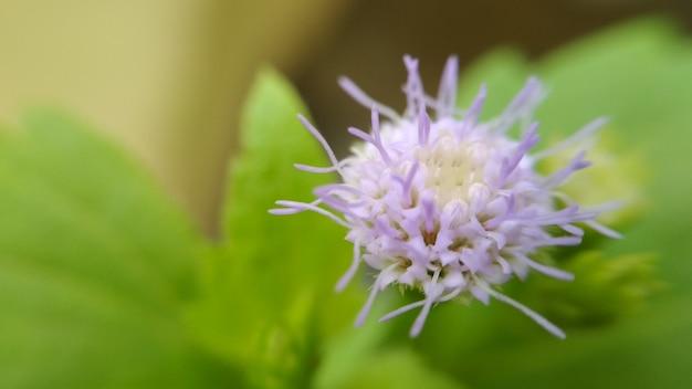 Purpurrote dandellionsblume auf blathintergrund für blumentapete