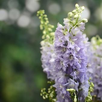 Purpurrote delphiniumblume für hintergrund