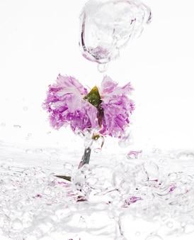 Purpurrote gartennelke, die in wasser fällt
