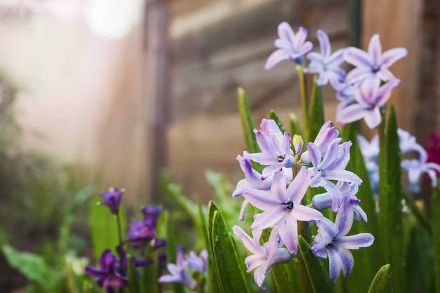 Purpurrote hyazinthenblüte im garten. tiefenschärfe.